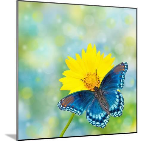Red-Spotted Purple Admiral On Yellow Coreopsis Flower-Sari ONeal-Mounted Photographic Print