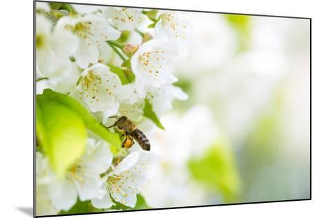 Honey Bee In Flight Approaching Blossoming Cherry Tree-l i g h t p o e t-Mounted Photographic Print