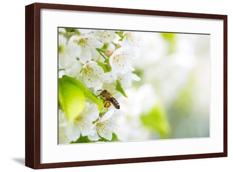 Honey Bee In Flight Approaching Blossoming Cherry Tree-l i g h t p o e t-Framed Art Print