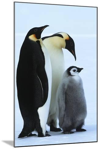 Antarctica Weddel Sea Atka Bay Emperor Penguin Family-Nosnibor137-Mounted Photographic Print