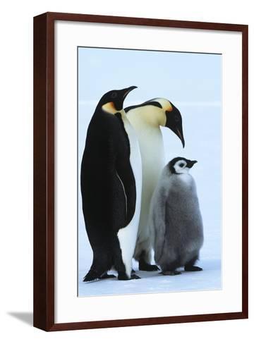 Antarctica Weddel Sea Atka Bay Emperor Penguin Family-Nosnibor137-Framed Art Print