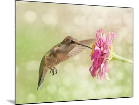 Dreamy Image Of A Ruby-Throated Hummingbird Feeding On A Pink Zinnia Flower-Sari ONeal-Mounted Photographic Print