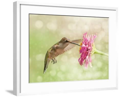 Dreamy Image Of A Ruby-Throated Hummingbird Feeding On A Pink Zinnia Flower-Sari ONeal-Framed Art Print
