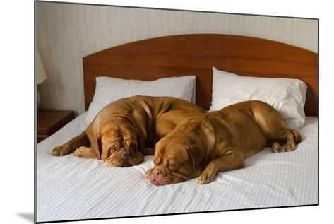 Dogue De Bordeaux Funny Couple In The Bed-vitalytitov-Mounted Photographic Print