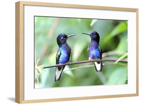 Velvet-Purple Coronet Hummingbird- duelune-Framed Art Print