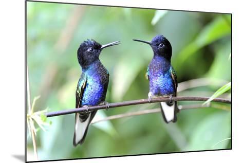 Velvet-Purple Coronet Hummingbird- duelune-Mounted Photographic Print