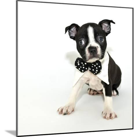 Boston Terrier Puppy- JStaley401-Mounted Photographic Print