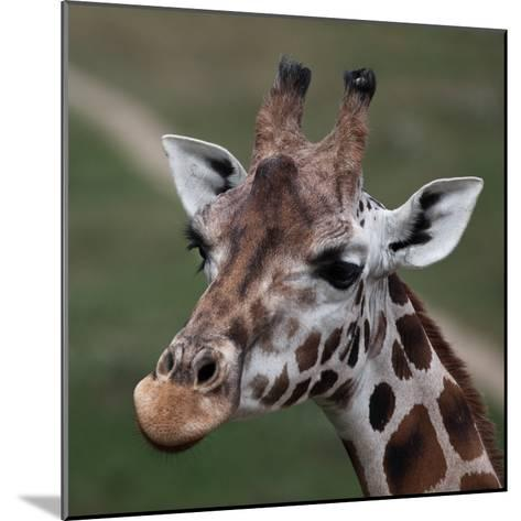 Giraffe - Close-Up Portrait Of This Beautiful African Animal-l i g h t p o e t-Mounted Photographic Print