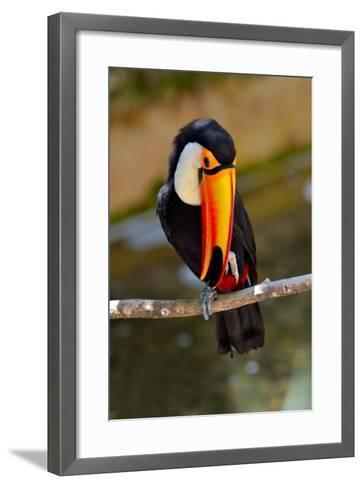 Toucan Outdoor - Ramphastos Sulphuratus-geanina bechea-Framed Art Print