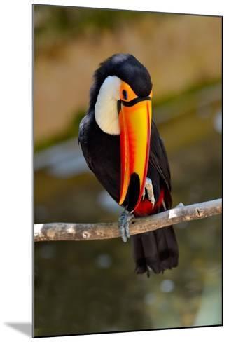 Toucan Outdoor - Ramphastos Sulphuratus-geanina bechea-Mounted Photographic Print