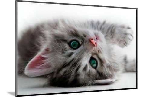 Kitten Rests - Isolated-Orhan-Mounted Photographic Print