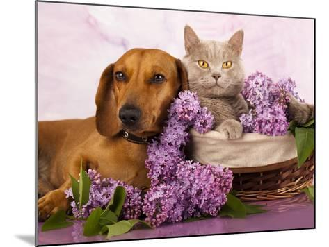 British Kitten Rare Color (Lilac) And Puppy Red Dachshund, Cat And Dog-Lilun-Mounted Photographic Print