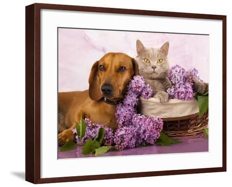 British Kitten Rare Color (Lilac) And Puppy Red Dachshund, Cat And Dog-Lilun-Framed Art Print