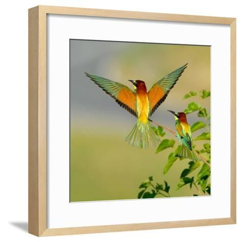 European Bee-Eater (Merops Apiaster) Outdoor-mirceab-Framed Art Print