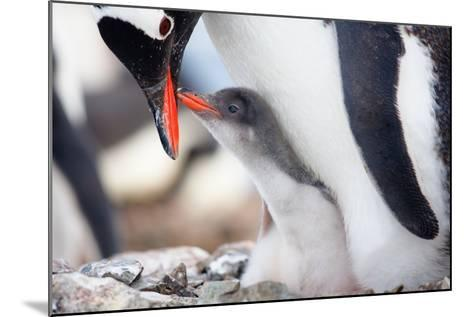 Penguins Nest-goinyk-Mounted Photographic Print
