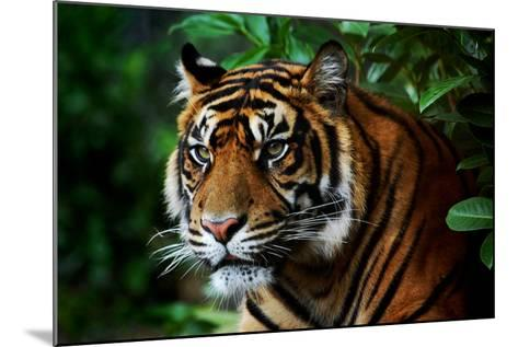 Tiger-Nanieke-Mounted Photographic Print