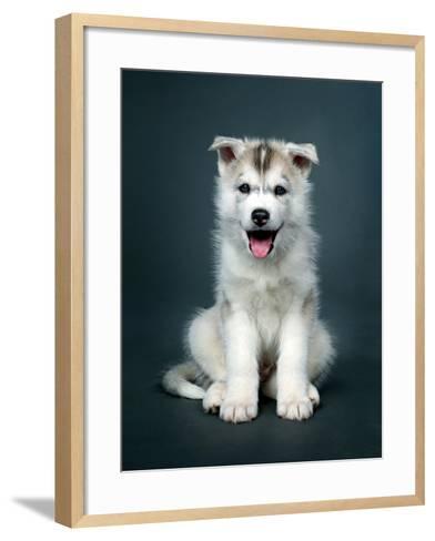 Puppy Of Siberian Husky-ingret-Framed Art Print