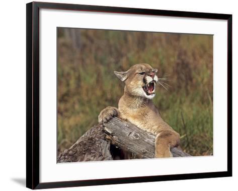 Cougar Growling-outdoorsman-Framed Art Print