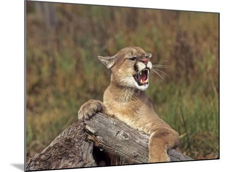 Cougar Growling-outdoorsman-Mounted Photographic Print