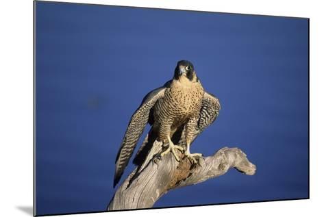 Falcon-outdoorsman-Mounted Photographic Print