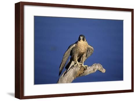 Falcon-outdoorsman-Framed Art Print