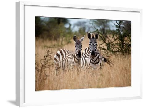 Zebras on the Savannah-Gary Tognoni-Framed Art Print