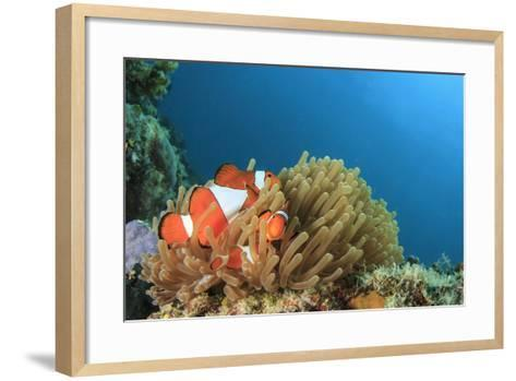 Clown Anemonefish in Anemone on Underwater Coral Reef-Rich Carey-Framed Art Print