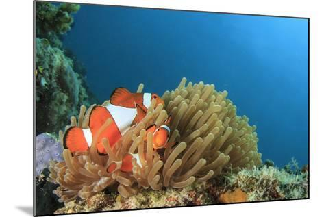 Clown Anemonefish in Anemone on Underwater Coral Reef-Rich Carey-Mounted Photographic Print