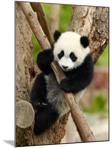 Giant Panda Baby over the Tree-silver-john-Mounted Photographic Print