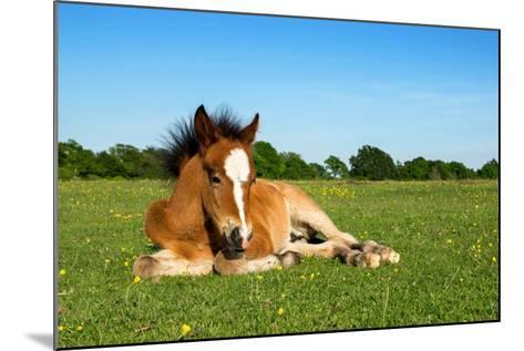 Cute Brown Foal Laying on Grass-andy lidstone-Mounted Photographic Print