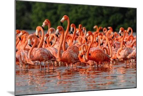 Flock of Greater Flamingos-zixian-Mounted Photographic Print