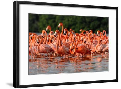 Flock of Greater Flamingos-zixian-Framed Art Print