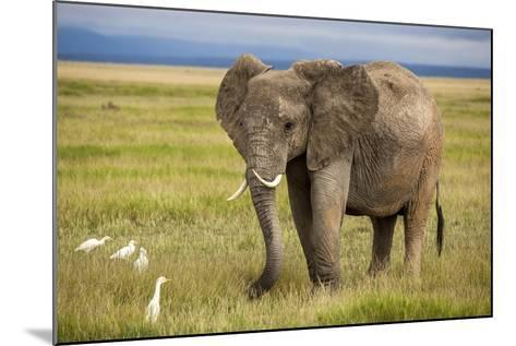 Elephant with Curved Tusks-dmussman-Mounted Photographic Print