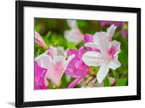 Spring Azaleas-Gary Tognoni-Framed Art Print