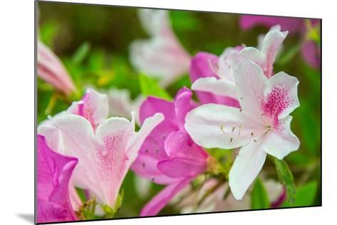 Spring Azaleas-Gary Tognoni-Mounted Photographic Print