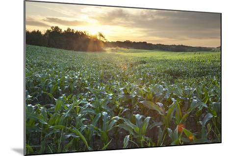 Field of Young Corn at Sunrise-DWStock-Mounted Photographic Print