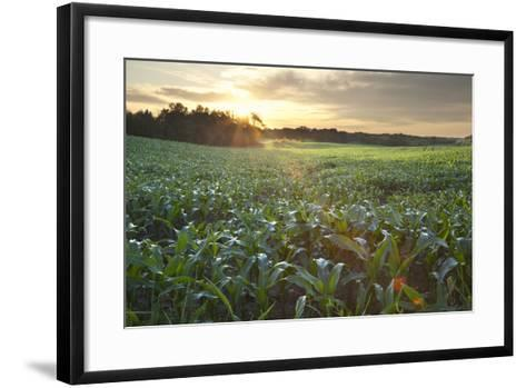 Field of Young Corn at Sunrise-DWStock-Framed Art Print