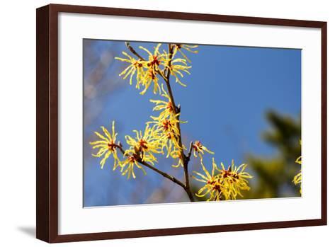 Hamamelis Japonica-fpdress-Framed Art Print