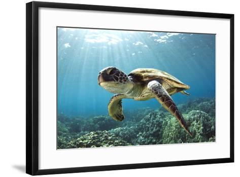 Hawaiian Green Sea Turtle-Swims with Fish-Framed Art Print