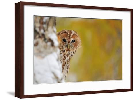 Courious Tawny Owl-Stanislav Duben-Framed Art Print