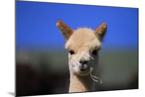 Tan Cria Alpaca-CountrySpecial-Mounted Photographic Print