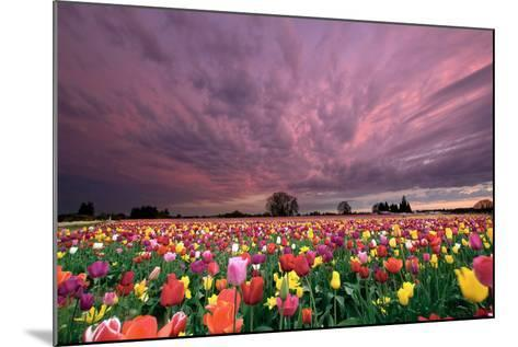 Sunset over Tulip Field-jpldesigns-Mounted Photographic Print