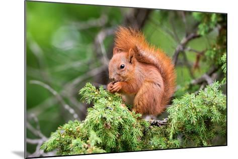 Red Squirrel Sitting in A Juniper Tree-stefanholm-Mounted Photographic Print