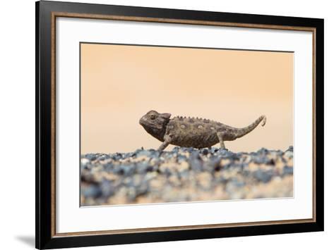 Namaqua Chameleon Hunting in the Namib Desert-Micha Klootwijk-Framed Art Print