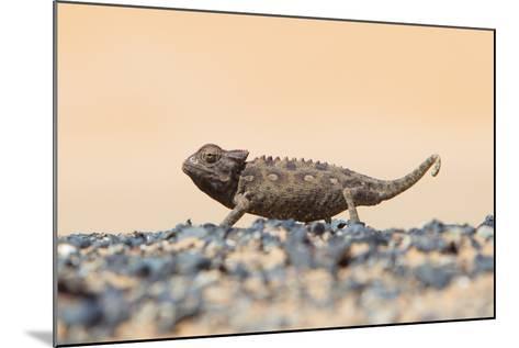 Namaqua Chameleon Hunting in the Namib Desert-Micha Klootwijk-Mounted Photographic Print