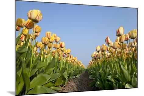 Dutch Tulip Fields in Springtime-picturepartners-Mounted Photographic Print