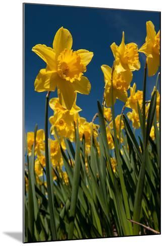 Yellow Daffodils in Front of a Blue Sky-Ivonnewierink-Mounted Photographic Print