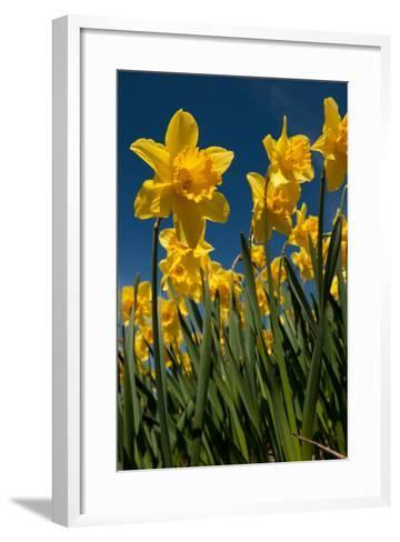 Yellow Daffodils in Front of a Blue Sky-Ivonnewierink-Framed Art Print