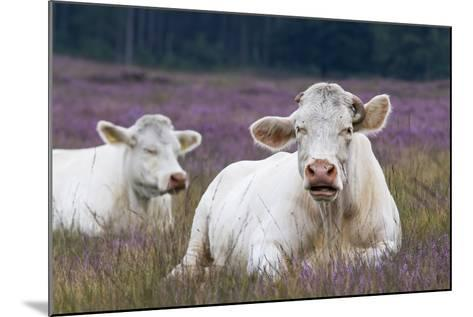 Resting Cow in Heather-Ivonnewierink-Mounted Photographic Print