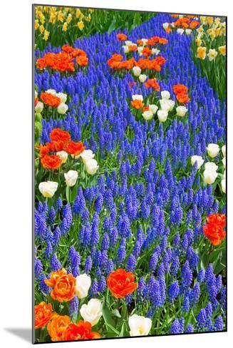Blue River of Muscari Flowers in Holland Garden-neirfy-Mounted Photographic Print